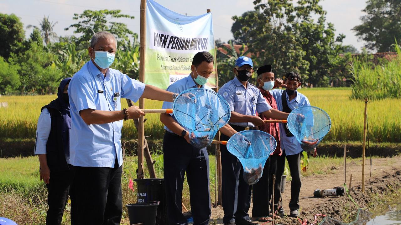 Kelompok Tani  Mangastuti Gatak Panen Perdana Mina Padi